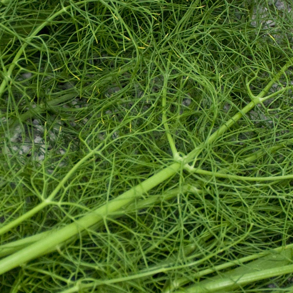 fresh fennel, fennel