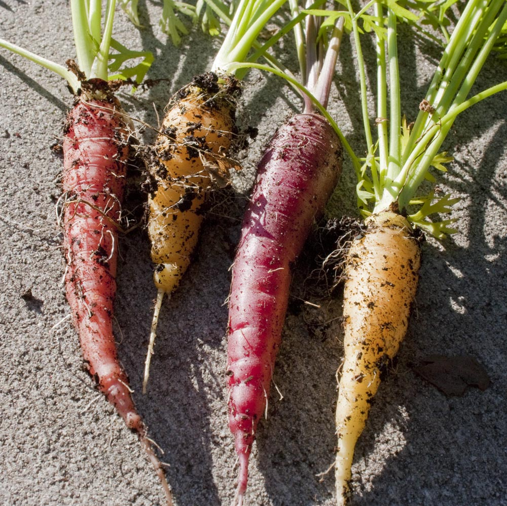Red, orange, yellow and white carrot fresh from the soil. I try to grow 6-8 different varieties, mostly shorter to do well in smaller pots.