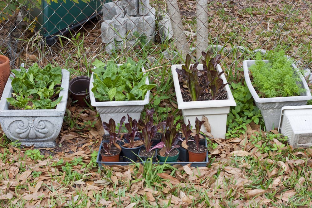 Lettuce, spinach and short carrot varieties all do well in window box planters.