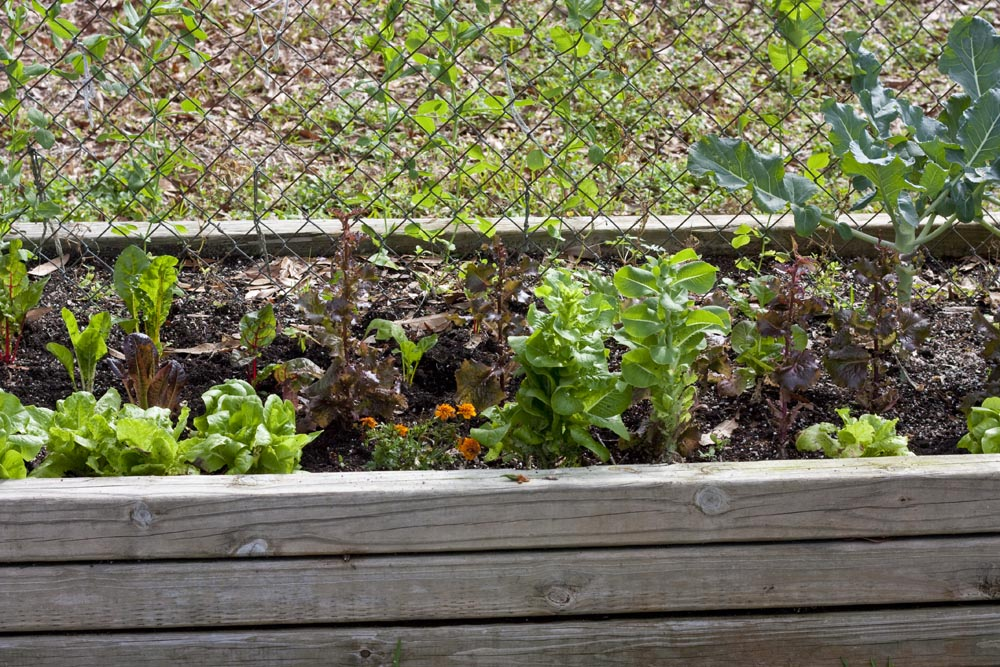 A 4x8-foot raised gardening bed with a fence through the middle. The heads of broccoli have been harvested and the stalks/leaves will be pulled soon(and eaten). Chard, collards and lettuce will be put in their place. Peas grow on the fence.